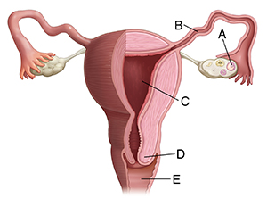Front view of partly sectioned uterus, fallopian tubes, and ovaries.