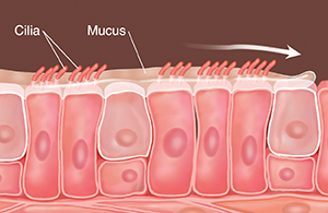 Cells with cilia and mucus on top. Arrow shows mucus being swept along.